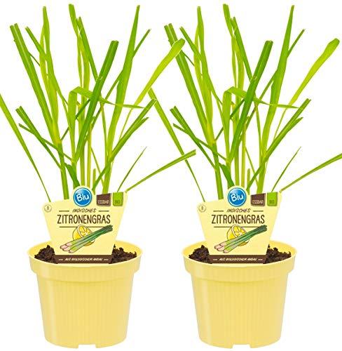 Bio Zitronengras (Cymbopogon citratus),...