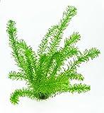 WFW wasserflora 2 Töpfe Wasserpest/Egeria Densa, winterharte Sauerstoffpflanzen, Klärpflanzen im Topf