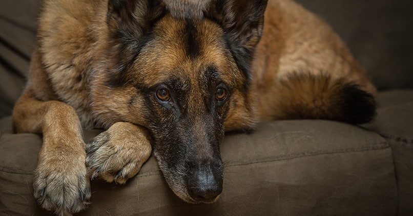 Demenz bei Hunden – auf diese Symptome sollten Besitzer achten
