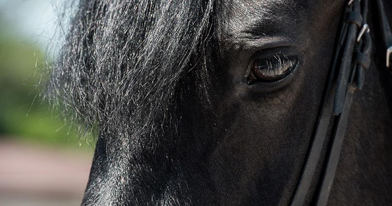 Birkenwasser für Pferde - ein gutes Mittel für Mähne und Schweif