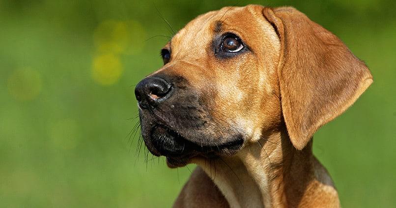 Welche Hunderassen sind die besten Wachhunde?