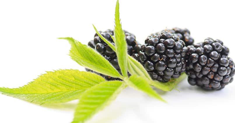 Brombeerblätter - eine wichtige Zutat in der Küche