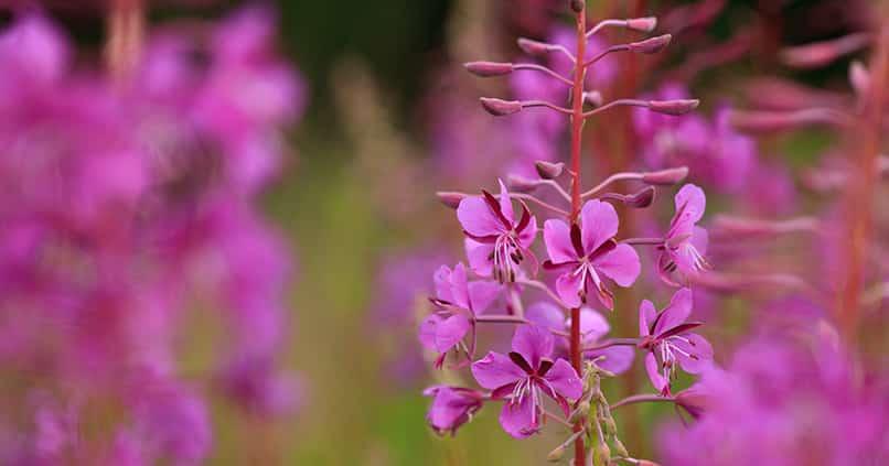 Das zottige Weidenröschen - eine essbare Heilpflanze