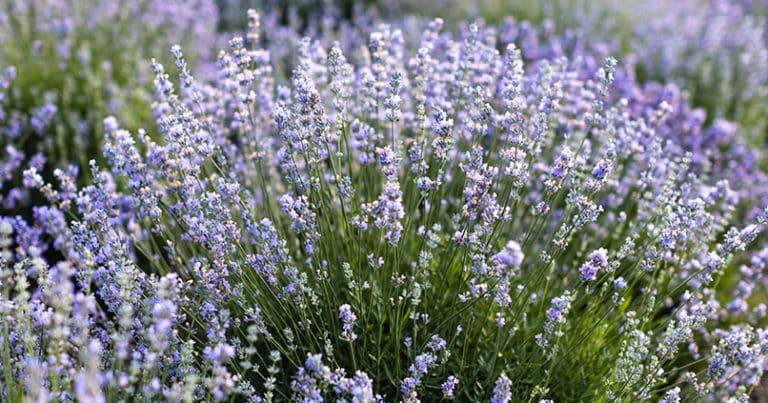 So wichtig ist Lavendel im Garten