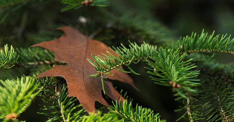 Zirbenholz ein Tiroler Wundermittel